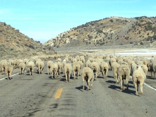 Sheep Drive 2