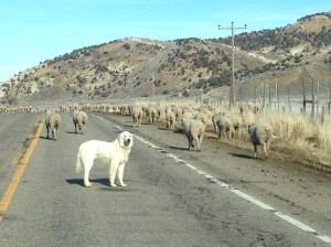 Sheep Drive 3